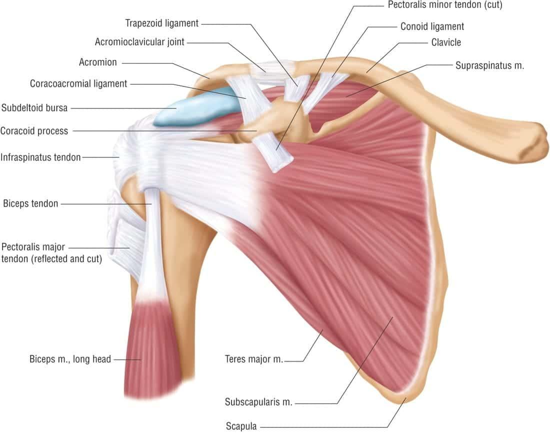 shoulder_anatomy